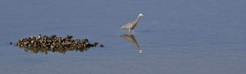 Heron stalks fish. I stalk heron.