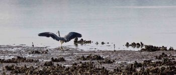 "Heron landing after I missed several shots of it in flight. Light a bit ""strong"" and yuck."