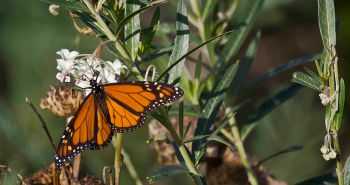 Monarch butterfly on swan plant growing wild.